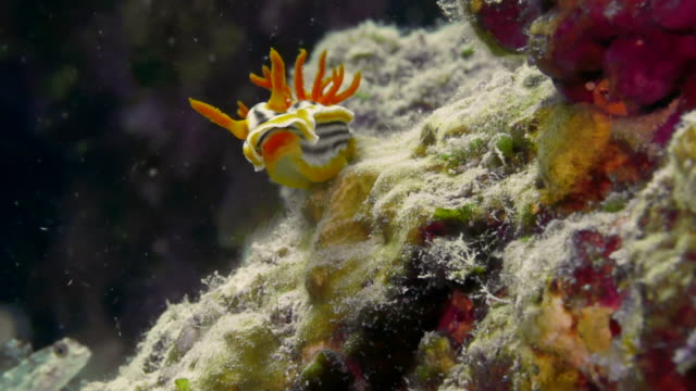 close up poisonous nudibranch on rock - nudibranch stock videos & royalty-free footage