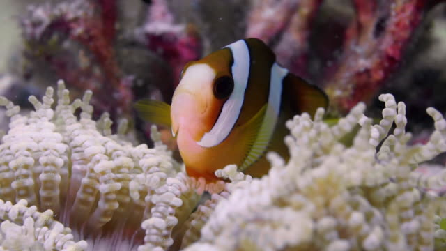 extreme close up clown fish in white anenome - anemonefish stock videos & royalty-free footage