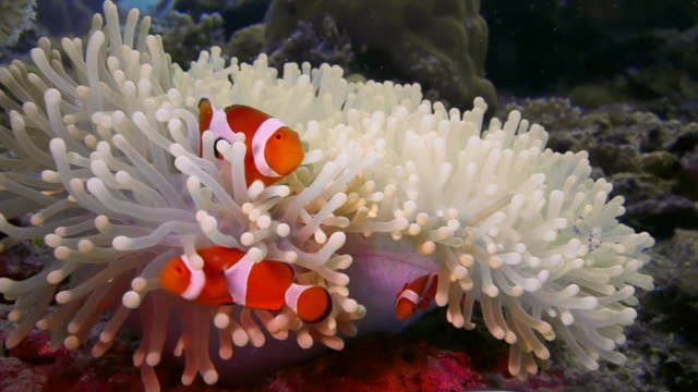 stockvideo's en b-roll-footage met close up orange clown fish family in white anenome with cleaning shrimp - clownvis