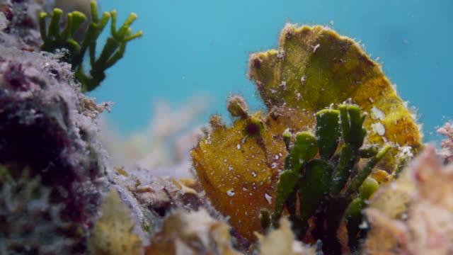 vídeos y material grabado en eventos de stock de close up yellow leaf scorpion fish hiding in coral - rascacio