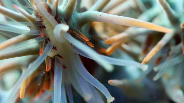 EXTREME CLOSE UP CROWN OF THORNS STARFISH FEET WALKING TOWARDS CAMERA
