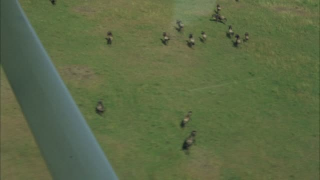 AERIAL VIEW OF BROWN AND GREEN, FLAT AFRICAN PLAINS, GRASSLANDS OR VELDT. SEE GANG OR HERD OF CAPE BUFFALO HERDING BELOW. SEE VARIOUS GREEN TREES, BUSHES, SHRUBS, OR VEGETATION BELOW. SEE MOUNTAINS IN BACKGROUND. SEE PART OF PLANE IN FRAME.
