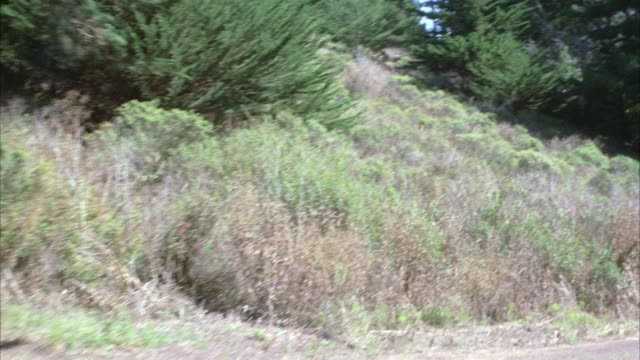 PROCESS PLATE STRAIGHT BACK DRIVING ON DIRT PATH OR MOUNTAIN ROAD SURROUNDED BY PINE TREES, HILLS IN BG. FORESTS.