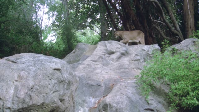 medium angle of a cougar walking across top of rocks or boulders in forest. trees in bg. animals. - puma stock videos & royalty-free footage