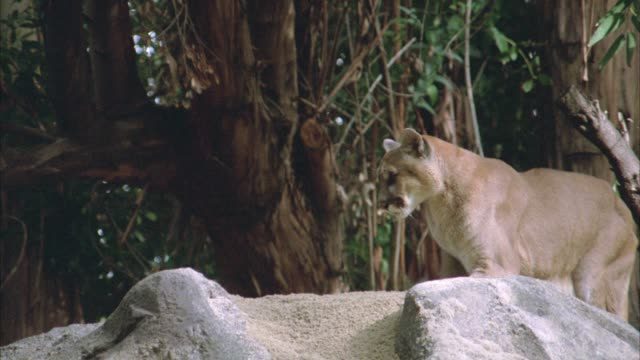 close angle of a cougar walking across top of rocks or boulders in forest. trees in bg. animals. - puma stock videos & royalty-free footage
