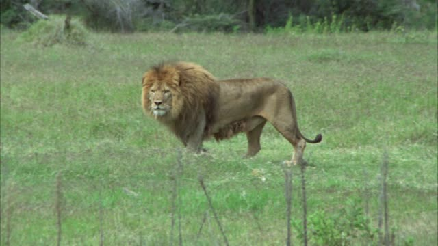 WIDE ANGLE OF MAL LION STANDING IN GRASSY AREA. COULD BE FIELD, GRASSLAND, SAVANNAH, OR VELDT.