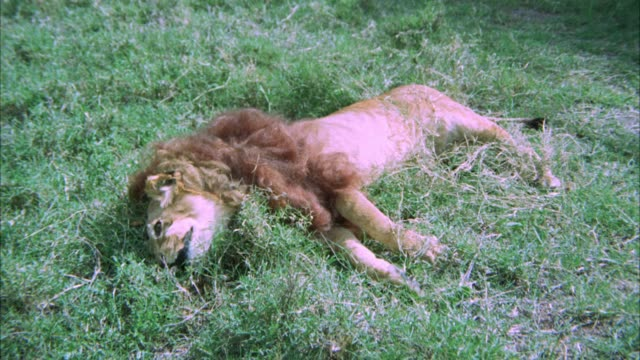 MEDIUM ANGLE DEAD LION LYING IN FIELD. STUFFED LION. COULD BE GRASSLAND, GRASS, SAVANNAH, OR VELDT.