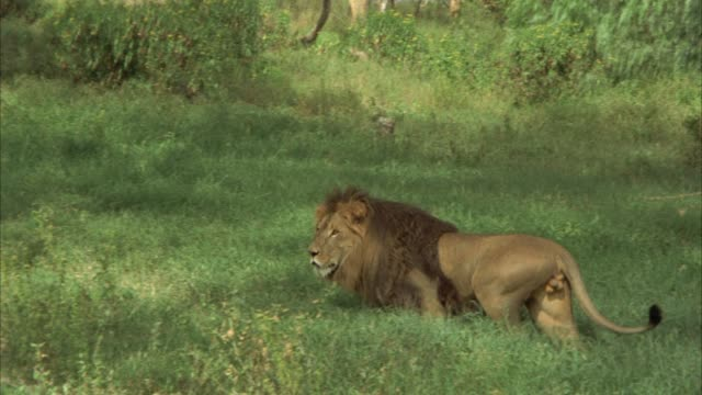 PAN RIGHT TO LEFT AS MALE LION WALK ACROSS GRASSLAND TOWARDS SHADY TREE AREA. COULD BE SAVANNAH OR VELDT.