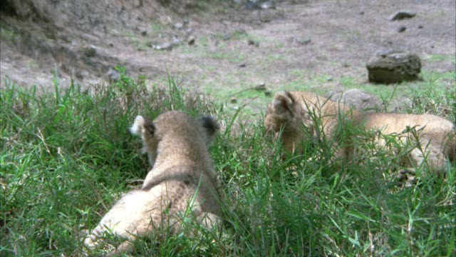 CLOSE ANGLE OF TWO BABY LION CUBS PLAYING IN GRASS. COULD BE FIELD, SAVANNAH, OF VELDT.