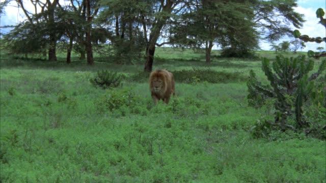 WIDE ANGLE OF MALE LION MOVING THROUGH TALL GRASS. TREES IN BG. COULD BE JUNGLE. COULD BE SAVANNAH OR VELDTS.
