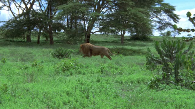 WIDE ANGLE OF MALE LION MOVING THROUGH TALL GRASS. TREES IN BG. COULD BE JUNGLE. COULD BE SAVANNAH OR VELDTS