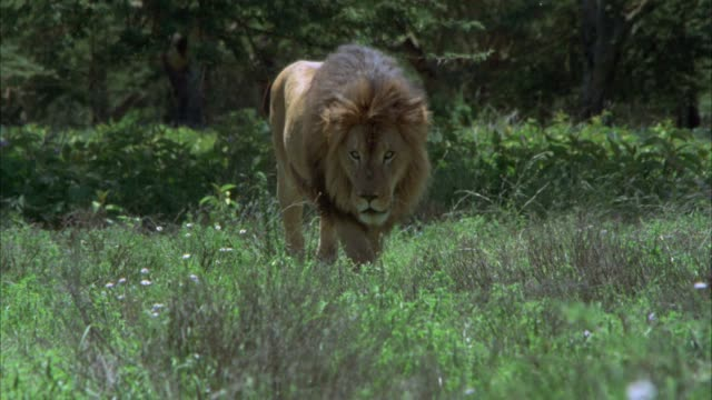 MEDIUM ANGLE OF MALE LION PACING OR WALKING IN TALL GRASS. COULD BE SAVANNAH OR VELDT. JUNGLE IN BG.