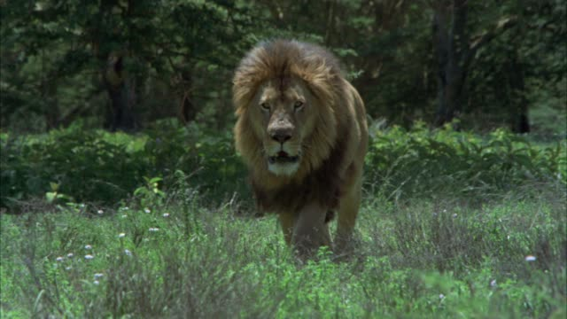 medium angle of male lion pacing or walking in tall grass. could be savannah or veldt. jungle in bg. lions runs towards camera and leaps through air. could be attack. - lion stock videos & royalty-free footage
