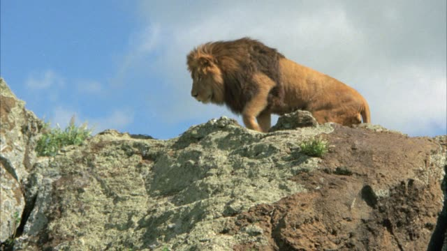 UP ANGLE OF MALE LION CLIMBING ON ROCKS. COULD BE SAVANNAH OR VELDT.