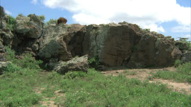 WIDE ANGLE OF MALE LION ON TOP OF CLIFF OR ROCKS. COULD BE SAVANNAH OR VELDT.
