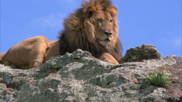 PULL BACK FROM CLOSE ANGLE OF MALE LION SITTING ATOP CLIFFS OR ROCKS. COULD BE SAVANNAH OR VELDT.