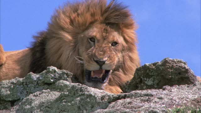 stockvideo's en b-roll-footage met close angle of male lion sitting on rocks or cliffs yawning. could be roaring. - gapen