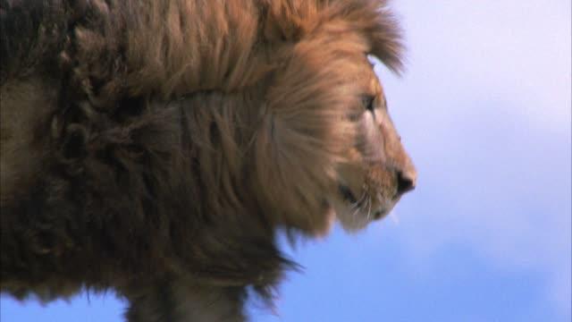 vídeos y material grabado en eventos de stock de close angle of male lion walking along cliffs or rocks. - felino grande