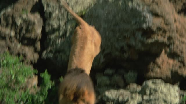 UP ANGLE OF MALE LION JUMPING DOWN FROM CLIFF OR ROCKS. LIONS WALKS AROUND. COULD BE SAVANNAH OR VELDT.