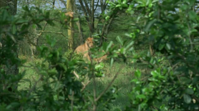 MEDIUM ANGLE OF TWO LIONESSES LOUNGING IN TALL GRASS. COULD BE SAVANNAH OR VELDT. BUSH OR FOLIAGE IN FG.
