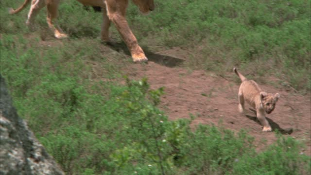 MEDIUM ANGLE OF LION CUBS WALKING ALONG DIRT PATH FOLLOWED BY LIONESS. COULD BE SAVANNAH, GRASSLANDS, OR VELDT.