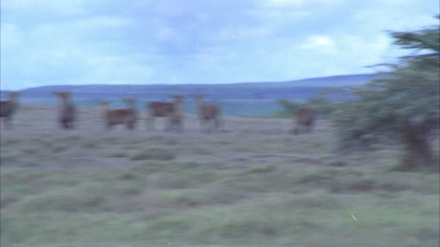 vídeos de stock e filmes b-roll de wide angle of lioness walking through grassland, veldt, or savannah. gazelles in bg alert to lioness's presence. lion chases after gazelles. could be antelopes. - 1974