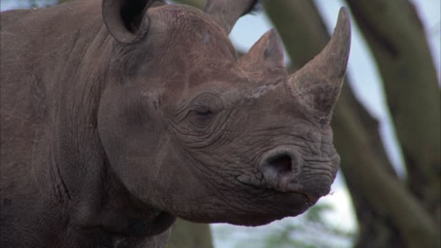 CLOSE ANGLE OF A RHINO IN A FIELD OR VELDT.