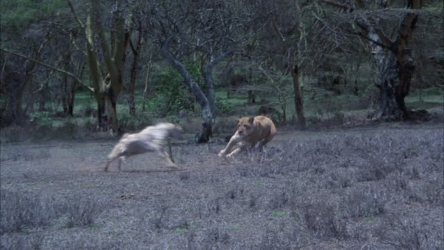 wide angle of a lioness chasing and attacking a smaller animal, could be a goat in an open field or veldt. trees in bg. prey. - tiere bei der jagd stock-videos und b-roll-filmmaterial
