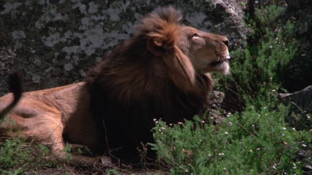 close angle of a lion lying on ground in front of a rock or boulder. plants in fg. - boulder rock stock-videos und b-roll-filmmaterial