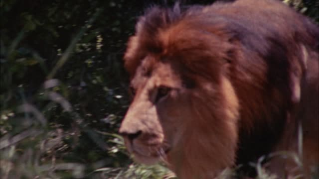 medium angle of a lion walking through a grassy field. trees or bushes in bg. - anno 1956 video stock e b–roll