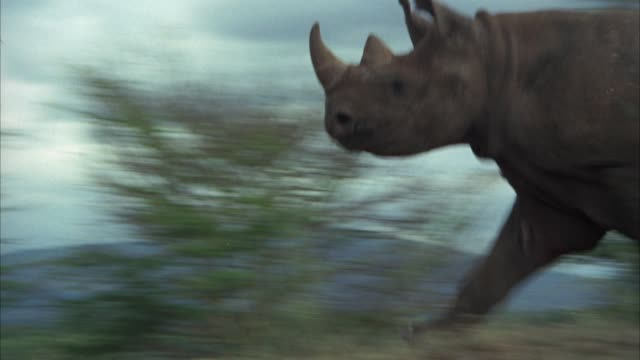 MEDIUM ANGLE OF A RHINO RUNS THROUGH A FIELD OR VELDT.