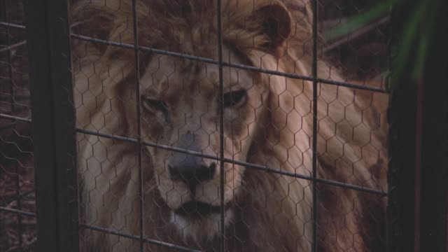 close angle of a lion sitting in a metal cage. - anno 1938 video stock e b–roll