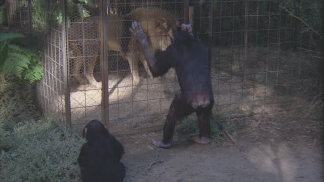 medium angle of chimpanzees standing outside a metal cage with lion in side. jungles. - anno 1938 video stock e b–roll