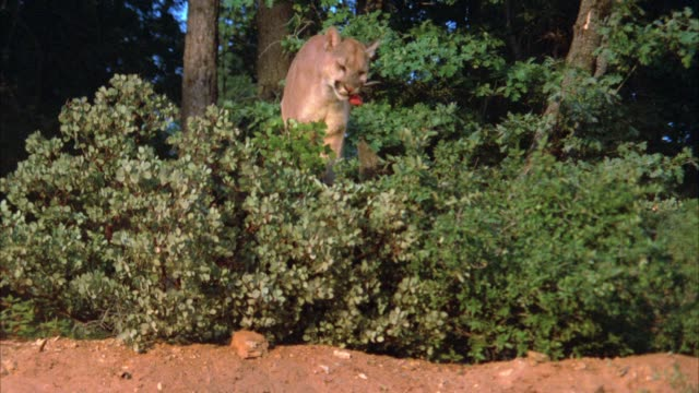 medium angle of a mountain lion standing on top of dirt hill surrounded by trees, plants, forest eating meat. - puma stock videos & royalty-free footage