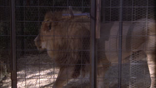 close angle of lion walking around inside a small metal cage. trees in bg. - cage stock videos & royalty-free footage