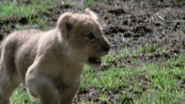 stockvideo's en b-roll-footage met close angle of a lion cub running around grass and dirt field. - welp