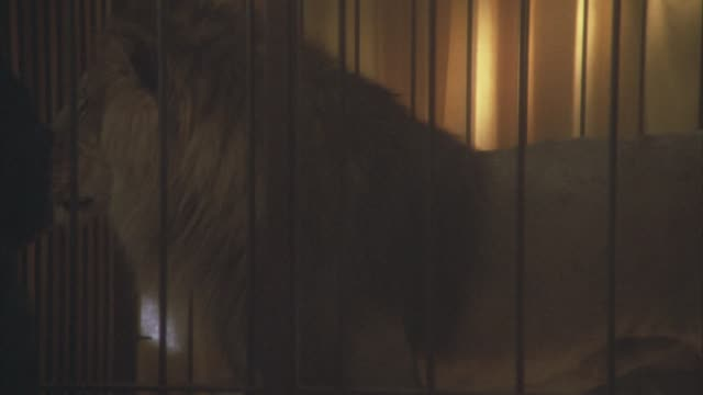 medium angle of a lion walking around in a metal cage. could be circus or zoo. - circus stock videos & royalty-free footage