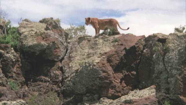 wide angle of a lioness standing on top of large rock or boulder. - boulder rock stock-videos und b-roll-filmmaterial