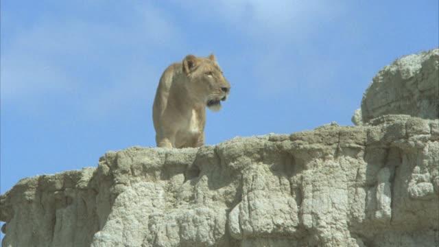 vidéos et rushes de up angle of a lioness on top of a large rock or boulder. desert. - boulder rock