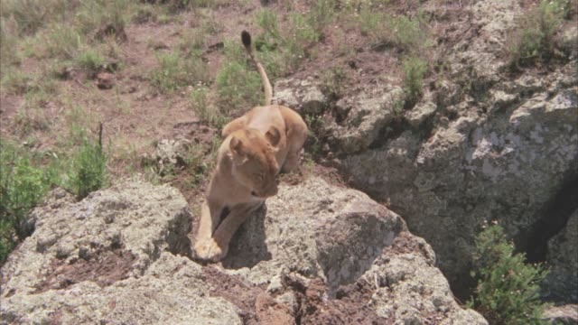 high angle down of a lioness running down the side of a large rock or boulder. desert. - boulder rock stock-videos und b-roll-filmmaterial