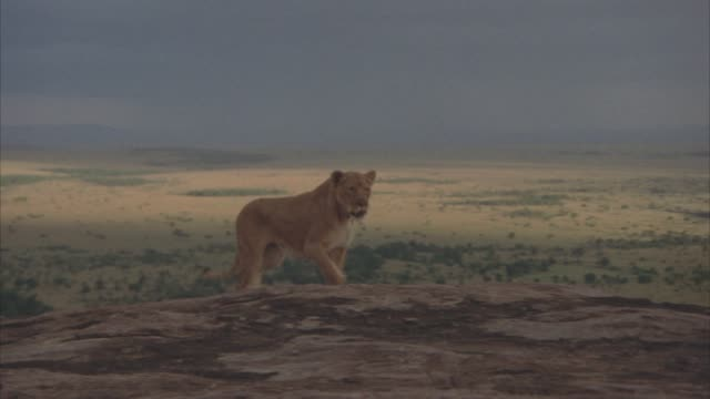 WIDE ANGLE OF A LIONESS RUNNING ACROSS ROCKY PLATEAU. SERENGETI, PLAINS, VELDT IN BG.