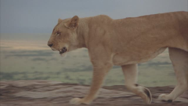 MEDIUM ANGLE OF A LIONESS RUNNING ACROSS ROCKY PLATEAU. SERENGETI, PLAINS, VELDT IN BG.