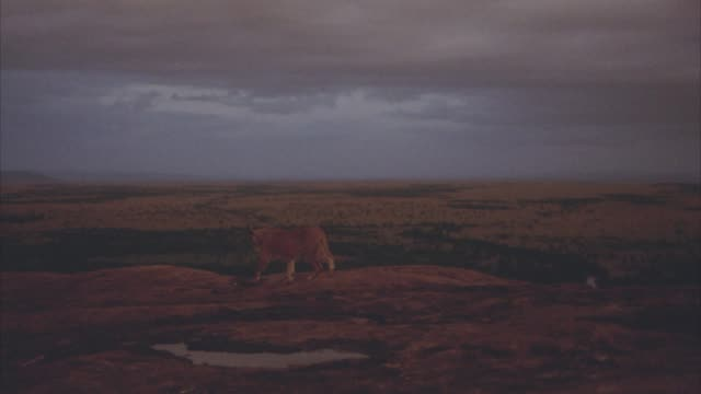 MEDIUM ANGLE OF A LIONESS RUNNING ACROSS ROCKY PLATEAU. SERENGETI, PLAINS, VELDT IN BG. DARK CLOUDS IN SKY.