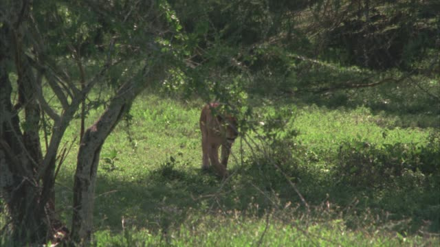 PAN RIGHT TO LEFT AS LIONESS WALKS ACROSS GRASSY FIELD. COULD BE SAVANNAH OR VELDT. COULD BE SERENGETI.