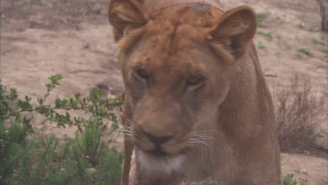 CLOSE ANGLE OF LIONESS STANDING IN SAVANNAH OR VELDT. GRASS AND DIRT VISIBLE. LIONESS RUNS AWAY.