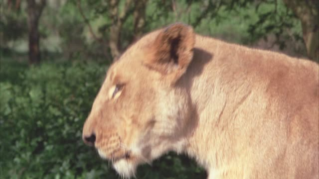 CLOSE ANGLE OF LIONESS SITTING IN GRASS WITH TREES AND THICKET BEHIND HER. COULD BE SAVANNAH OF VELDT.