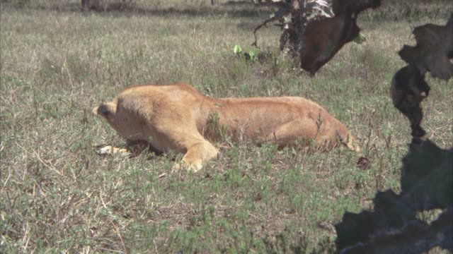 MEDIUM ANGLE OF LIONESS LAYING ON GRASS. COULD BE FIELD, SAVANNAH, OR VELDT.