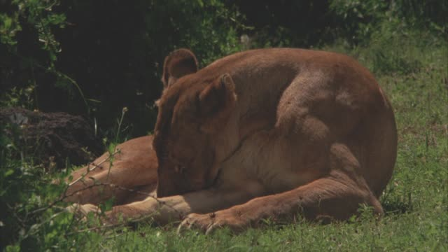 MEDIUM ANGLE OF LIONESS LYING IN GRASS LICKING LEG. COULD BE FIELD, SAVANNAH, OR VELDT.