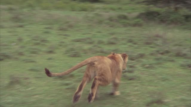 vídeos de stock e filmes b-roll de wide angle of a lioness running through grass in serengeti plains, veldt, trees, shrubs. spears being thrown at animal. neg cut. - 1974