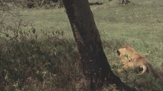 vídeos de stock e filmes b-roll de wide angle of lioness lying under tree in the. veldts. fields. neg cuts. - 1974